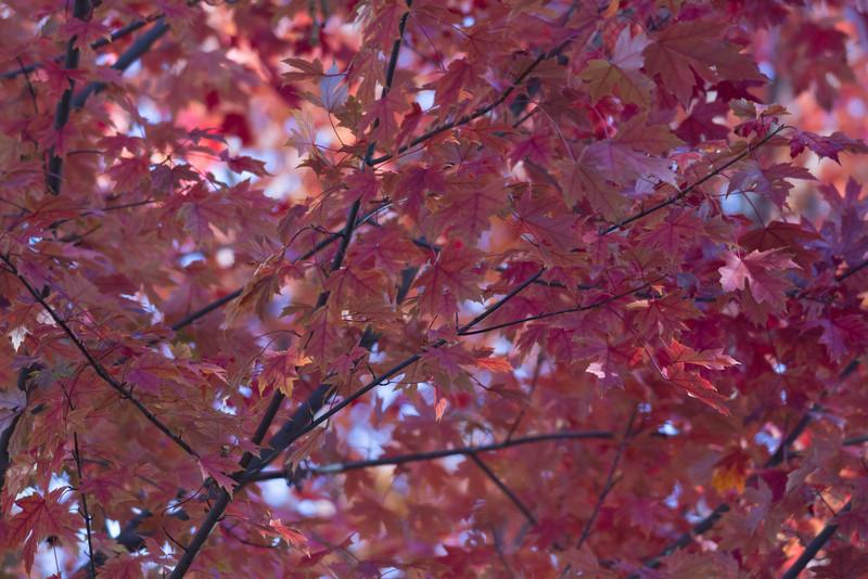 2010 11 04 Fall Maple Leaves 008.jpg
