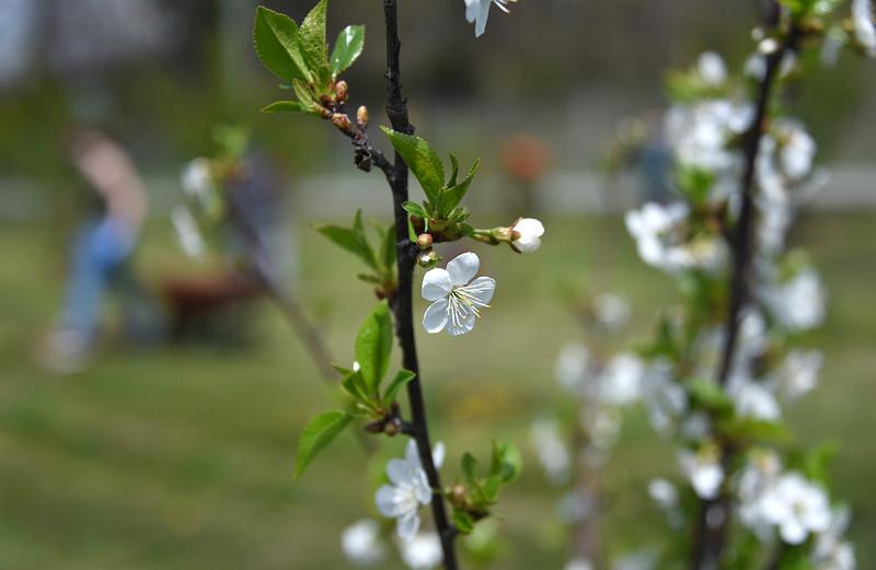 Blossoms_FruitTrees_ADJ_742.jpg