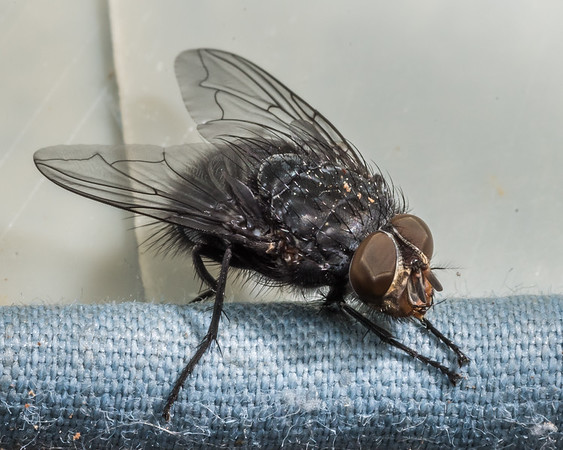 Calliphora vicina - Blue bottlefly