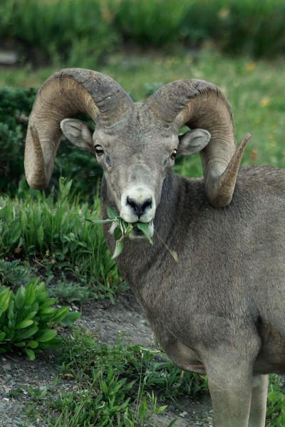 A bighorn sheep_3435-2.jpg