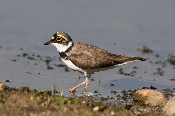 Ringed Little Plover