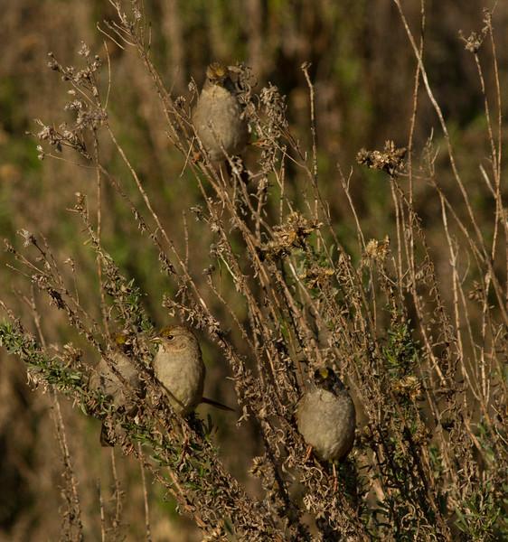 Golden-crowned Sparrow Mt Israel 2015 01 02-1.CR2