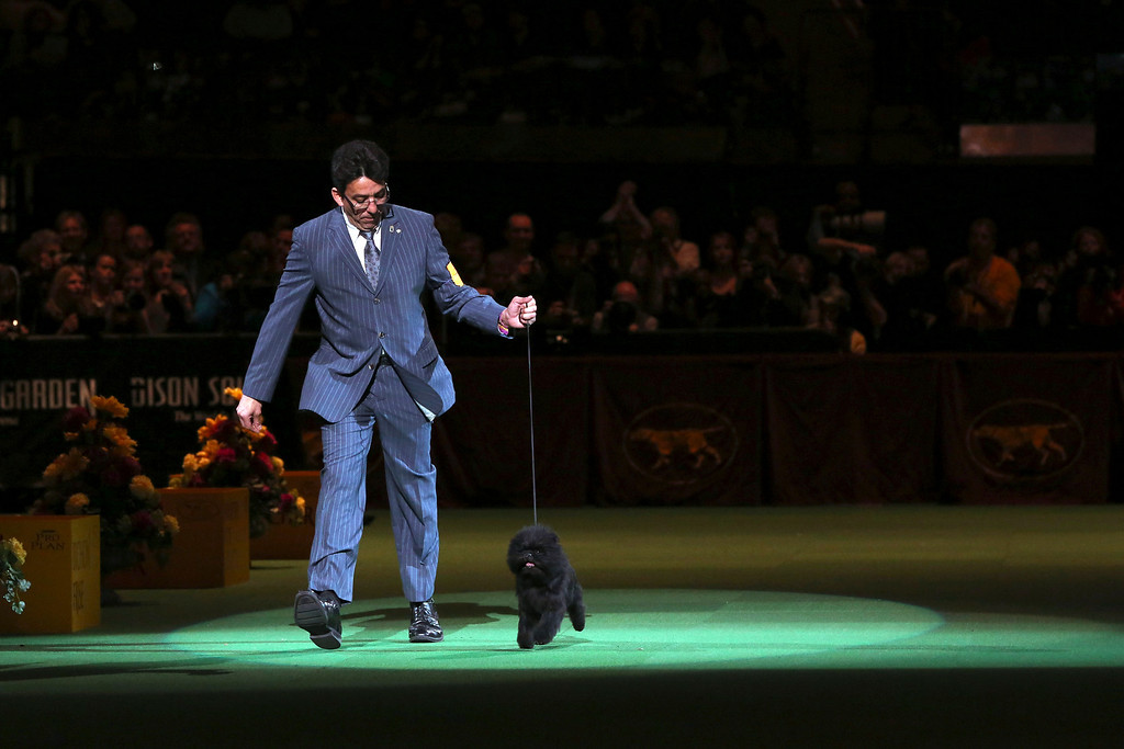 . Ernesto Lara presents Banana Joe, an affenpinscher, during the Best in Show competition at the 137th Westminster Kennel Club dog show, Tuesday, Feb. 12, 2013, at Madison Square Garden in New York. (AP Photo/Mary Altaffer)