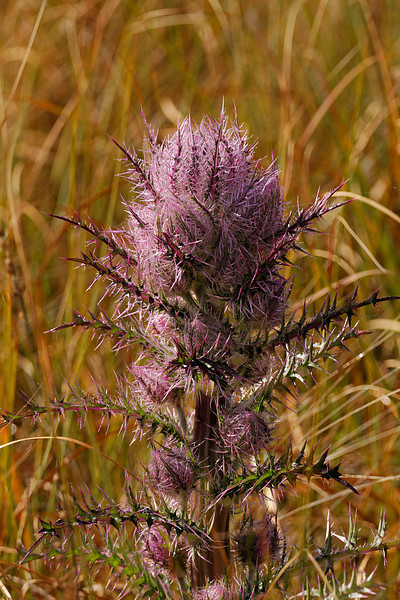 Thistle - Distracts the photographer with its lush colors