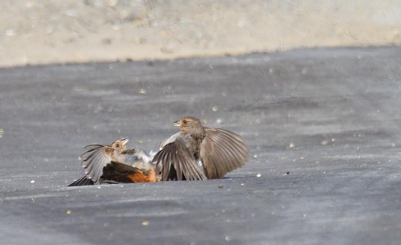 California Towhees Fighting - 5/3/2019 - Flintkote, Torrey Pines State Reserve