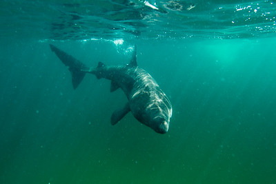 Basking Sharks Scotland 2016-08