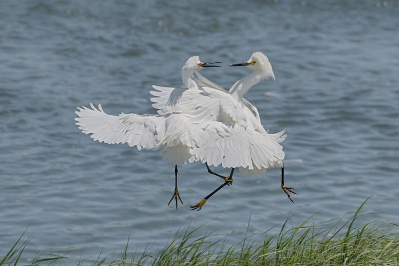 Egrets_DSC6261-Edit.jpg
