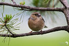 Little round chaffinch