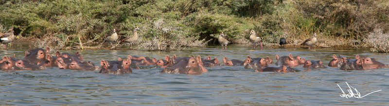 Hippos S-18.jpg