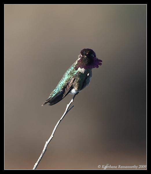 Anna's Hummingbird, Lake Murray, San Diego County, California, January 2009