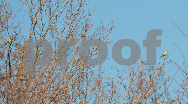 12/04/17 Wesley Bunnell | Staff Several Quaker parrots aka Monk parakeets were spotted in Berlin on Monday afternoon near the intersection of Farmington Ave and Porters Pass.