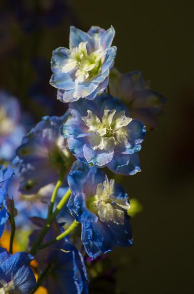 Blue Flower (1 of 1).jpg