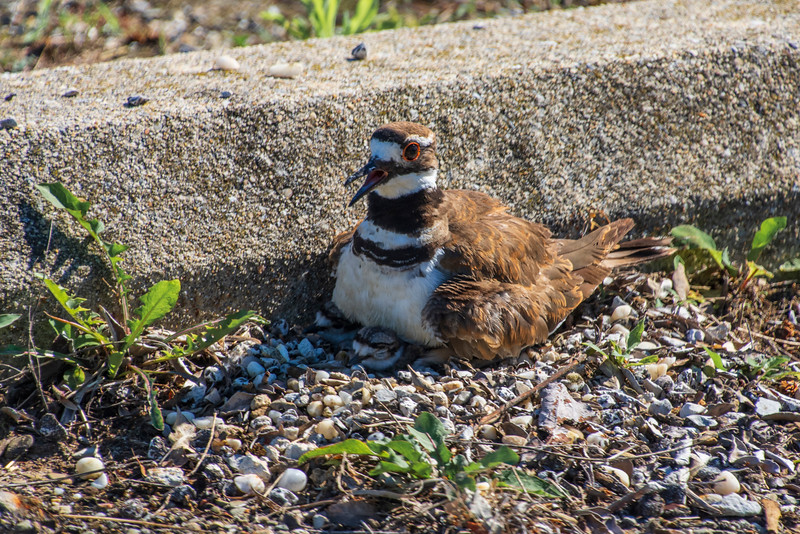 Killdeer-sittingonHatchlings-picklyroad.jpg