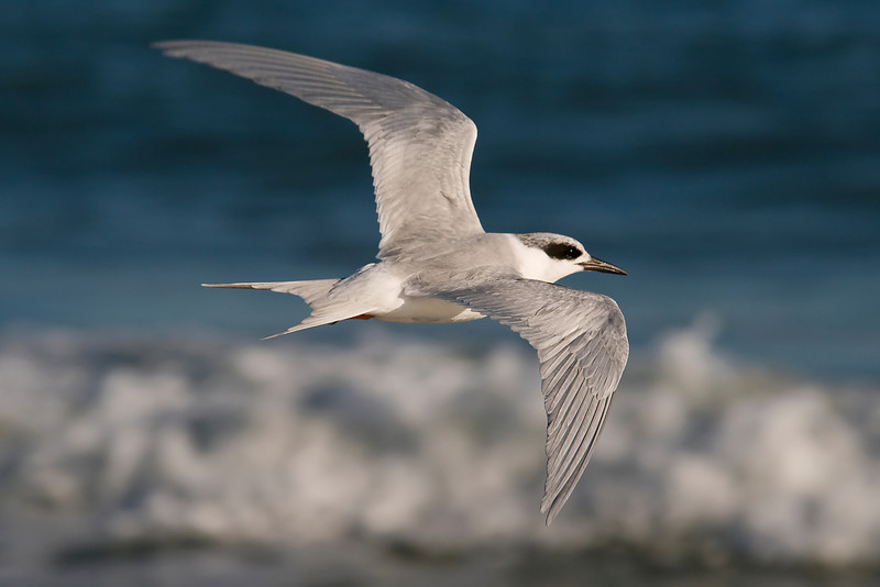 Tern - Forsters - St. George Island State Park - FL