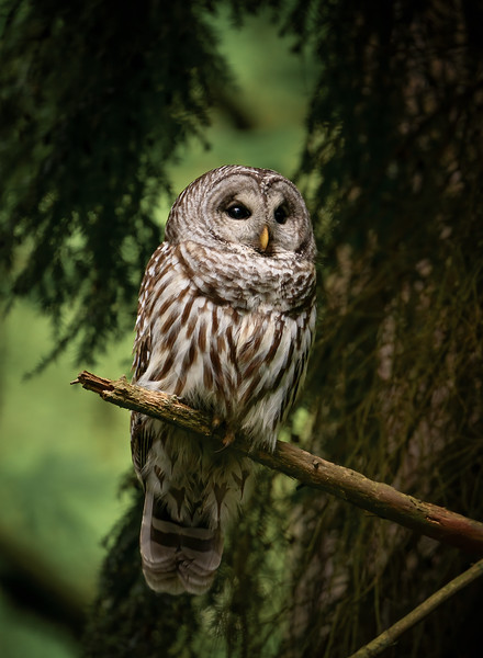 Barred Owl in a dark forest