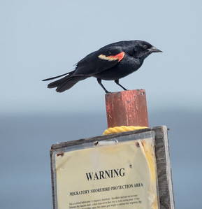 Road Scholar Birding in Cape May - May 2015