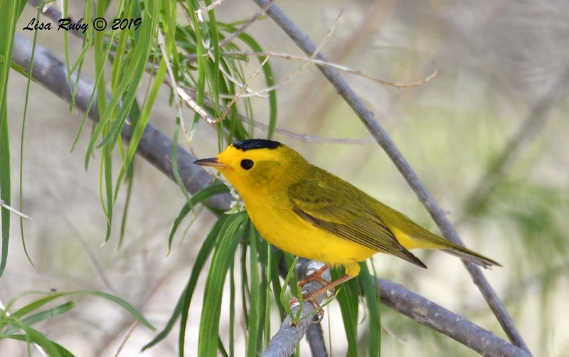 Wilson's Warbler  - 4/14/2019 - Agua Caliente County Park Campground
