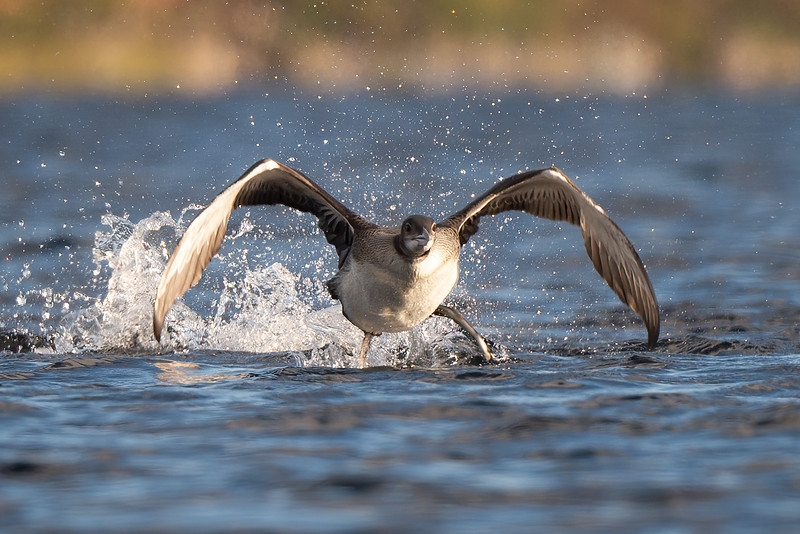 #1299 Loon Chick Takeoff
