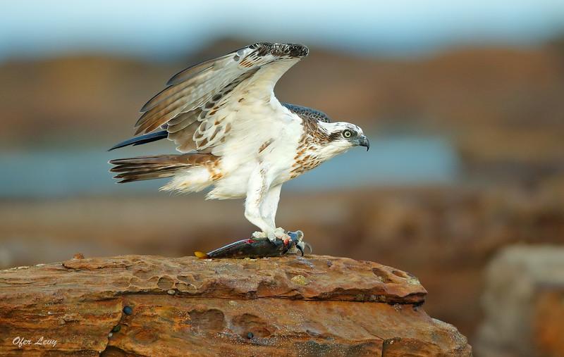 Eastern Osprey 7.jpg