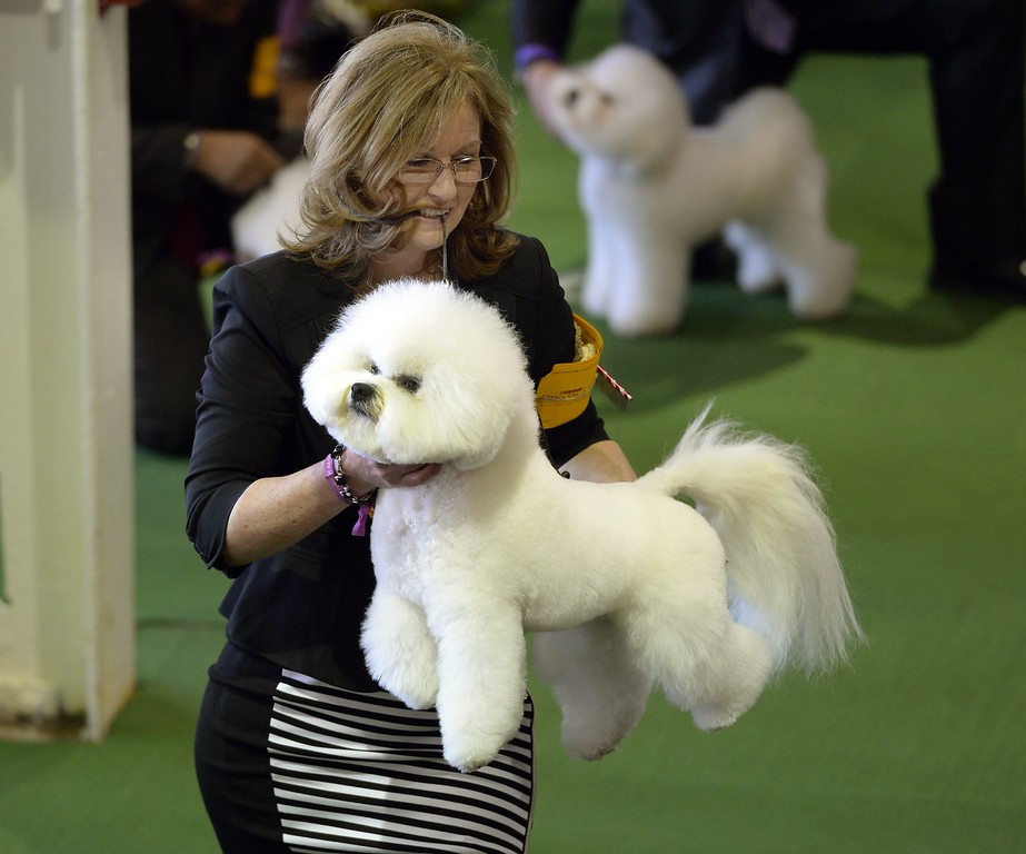 . A  Bichon Frise in the judging  area at Pier 92 and 94 in New York City on the first day of competition at the 139th Annual Westminster Kennel Club Dog Show February 16, 2015. The Westminster Kennel Club Dog Show is a two-day, all-breed benched show that takes place at both Pier 92 & 94 and at Madison Square Garden in New York City.    AFP PHOTO /  TIMOTHY  A. CLARYTIMOTHY A. CLARY/AFP/Getty Images
