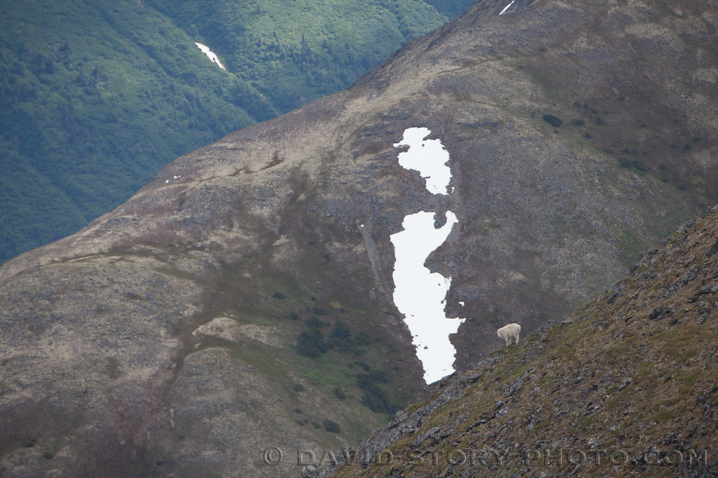 The relief of a mountain goat (Oreamnos americanus) is provided by ridgelines. Cooper Landing, AK.