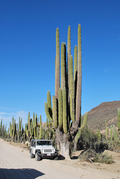this one is big Cardon cactus - but not even close to the highest one with 28 meters