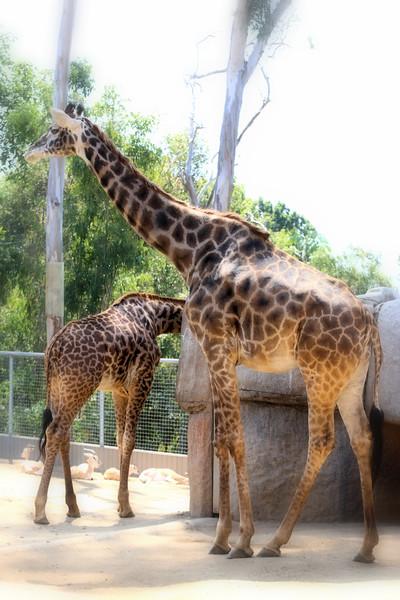 Giraffe 6.24.2017.jpg
