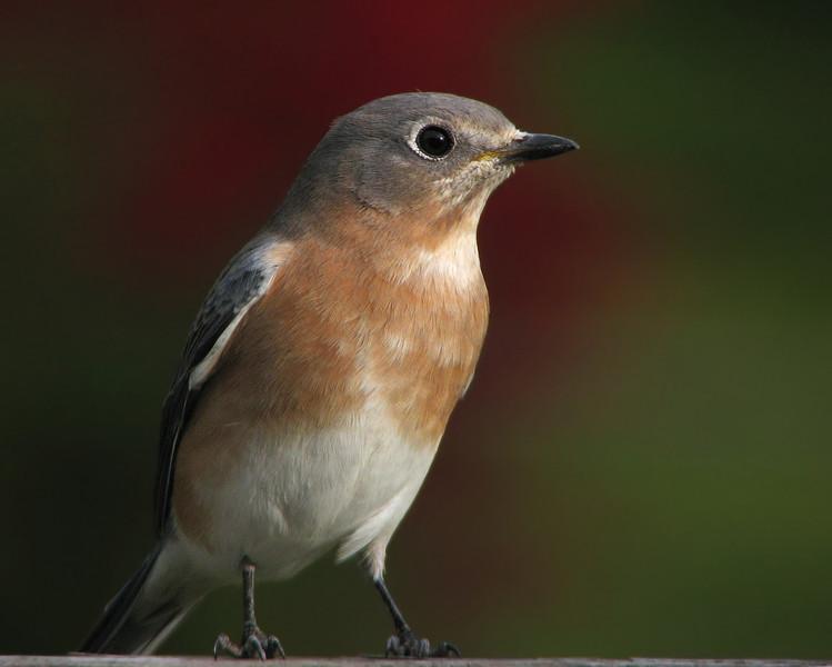 bluebird_4569.jpg