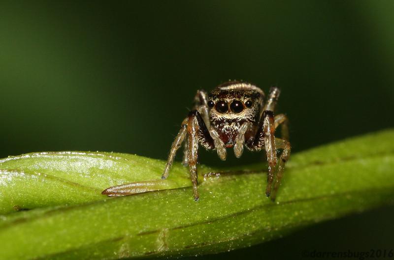 Jumping spider, Salticidae. (Iowa)