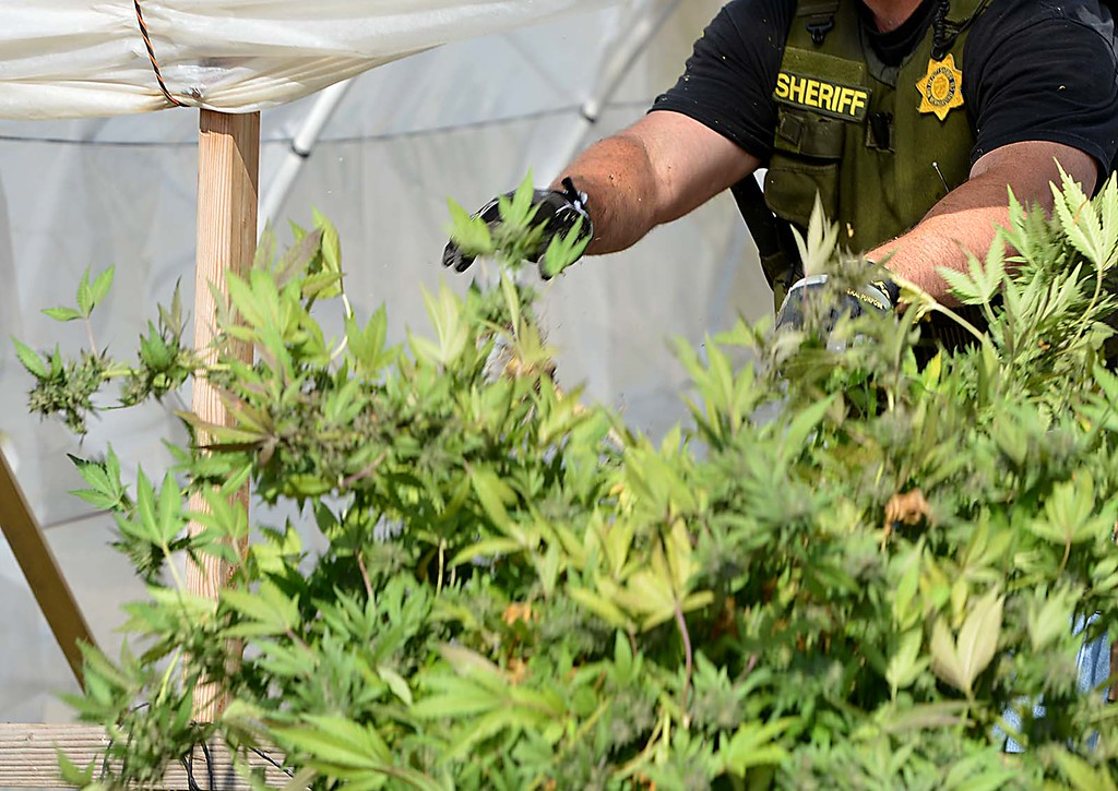 . The San Bernardino County Sheriff\'s Marijuana Enforcement Team assisted by narcotics officers from the San Bernardino police department seized 2,200 marijuana plants and took seven people into custody from two homes in San Bernardino. (Photo by Rick Sforza/The Sun)