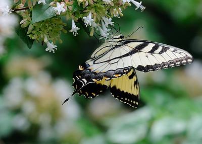 Duke Gardens Butterflies, August 26, 2015