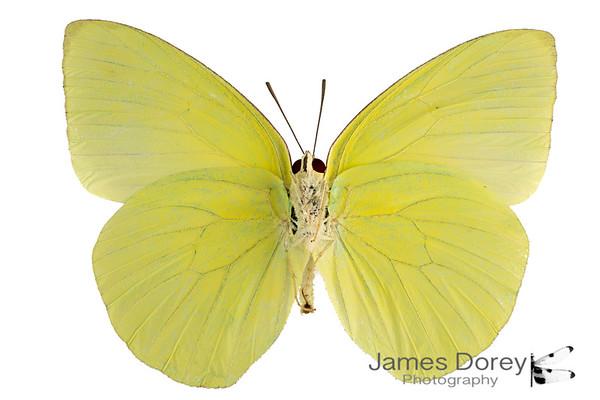 Fijian butterflies