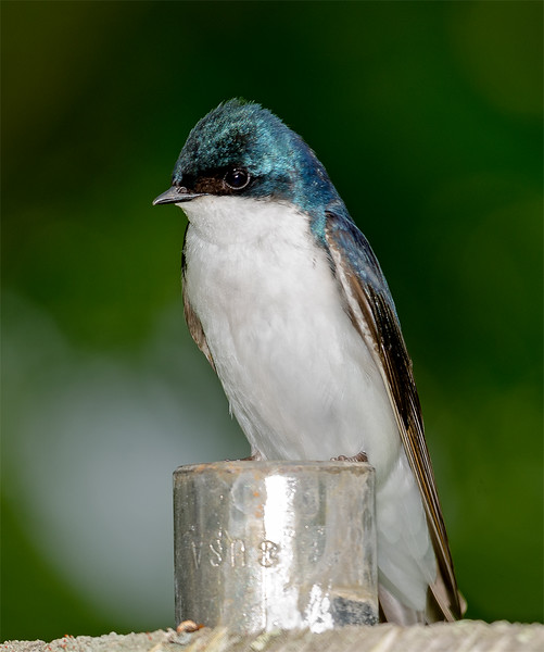 tree-swallows-mister-4716.jpg