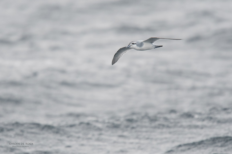 Anarctic Prion, Eaglehawk Neck Pelagic, TAS, Sept 2016-2.jpg