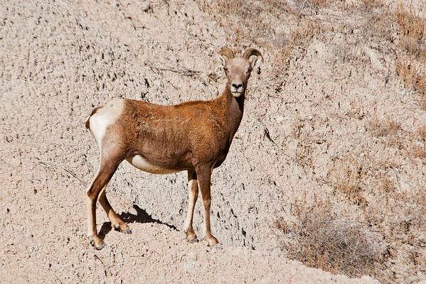 Bighorn Sheep - Badlands Nat'l Park - SD
