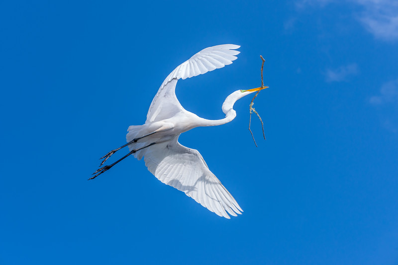 292-White Egret Carries a Big Stick.JPG