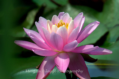 Water Lilies Part II, July 2015