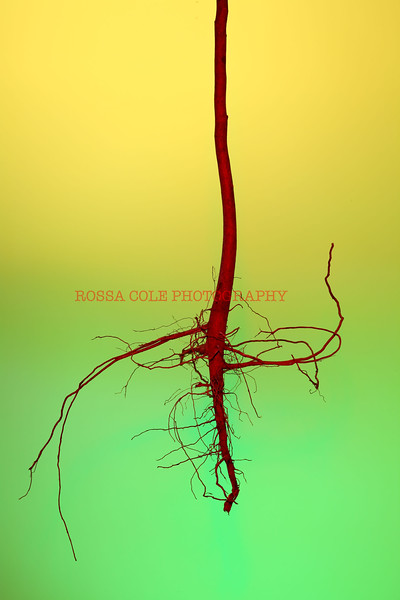 Red Root.sm.jpg