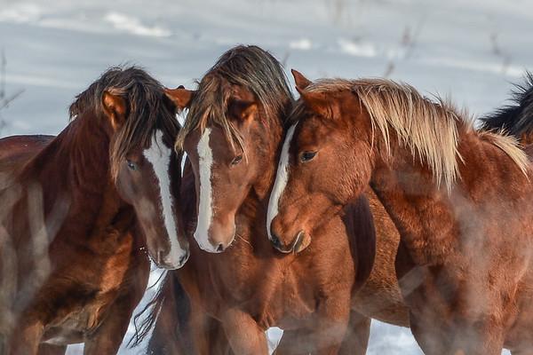 1 Alberta Wild Horses 2016