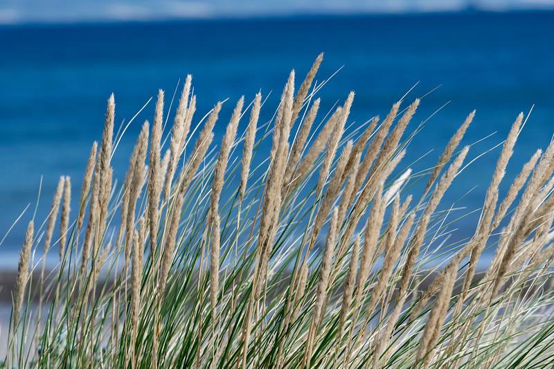Close-up of Marram grass, Castlegregory, County Kerry, Ireland