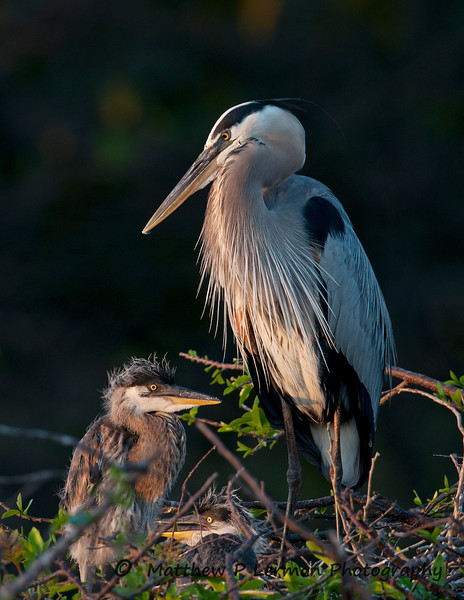 Great Blue Heron with young_6122.jpg