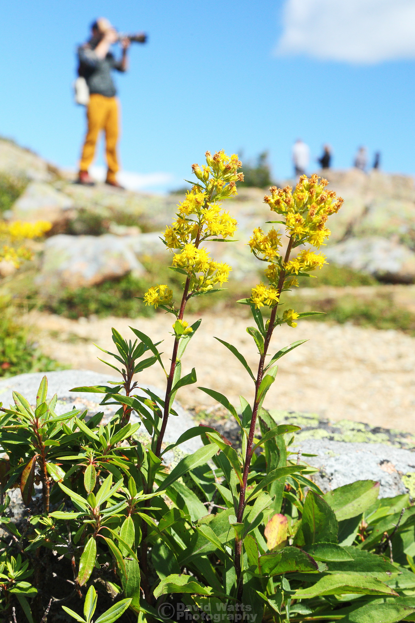 Wildflowers on Cadillac Mountain