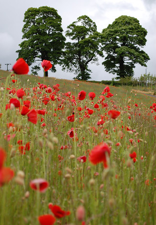 Poppy field, Roslin