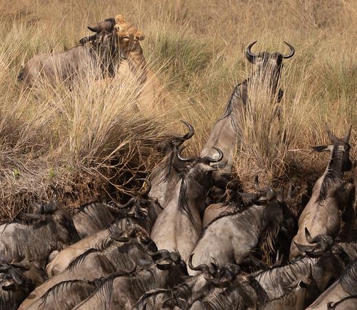 2019-08 Masai Mara Migration