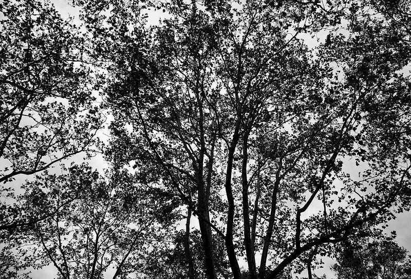 beech-canopy.jpg