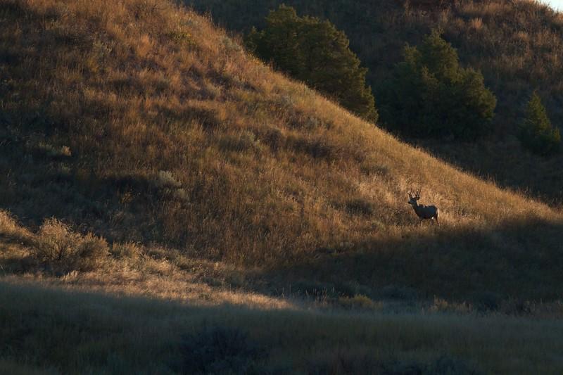 Mule Deer Theodore Roosevelt NP South Unit ND IMG_0008767.jpg