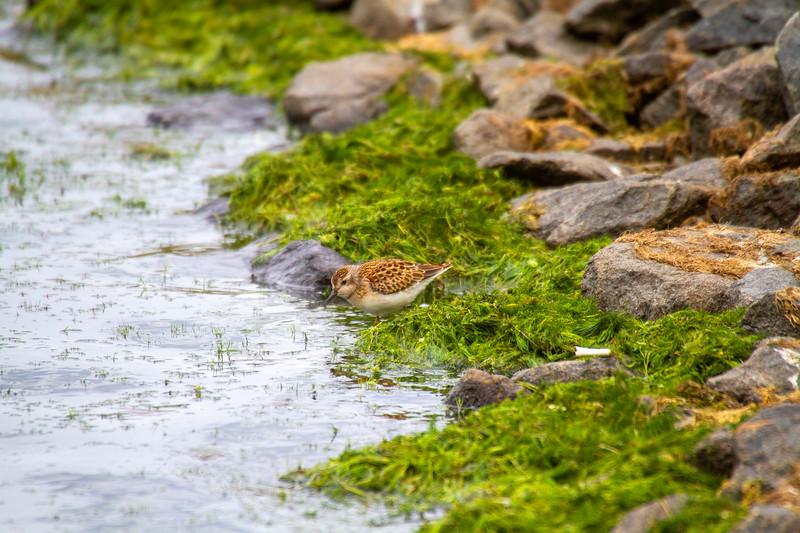 Least Sandpiper Beaver Bay Sewage Ponds Lake County MN IMG_1612.jpg