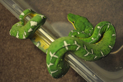 Amazon Basin Emerald Tree Boa male