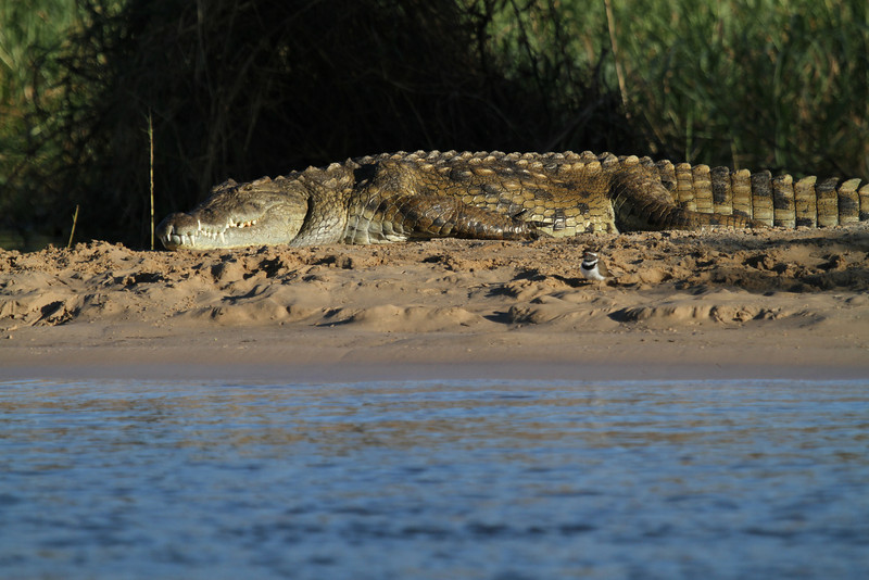 Nile crocodile &three-banded plover