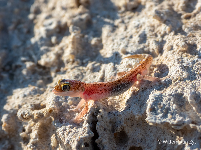 Austen's Thick-toed Gecko (Pachydactylus austeni) from Port Nolloth, Northern Cape